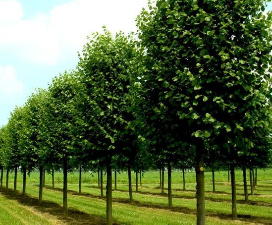 Field grown specimen trees craigmarloch nurseries esi for Specimen trees
