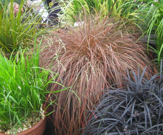 Ornamental grasses craigmarloch nurseries esi external for Names of ornamental grasses