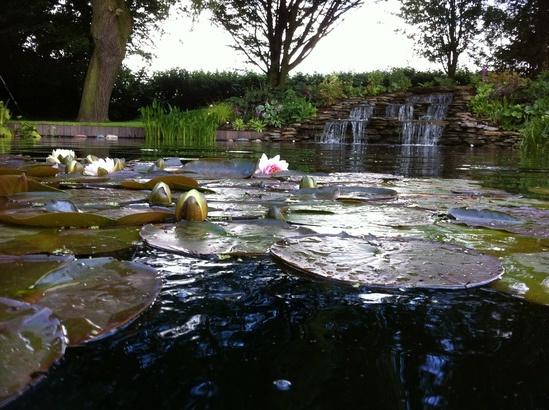 Deep water aquatic plants aqualife water plants for Deep pond plants