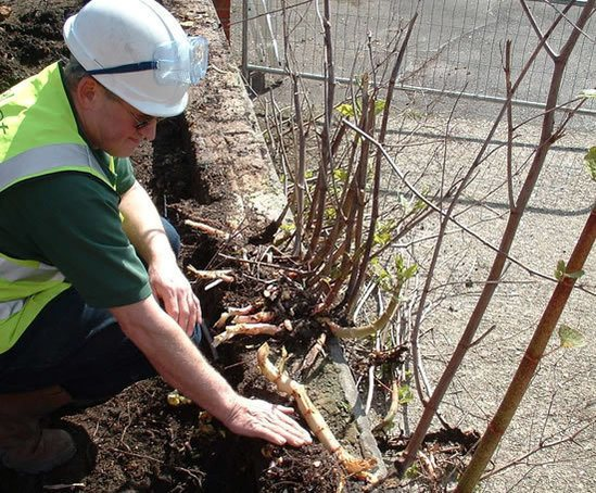 Japanese knotweed control accredited contractor