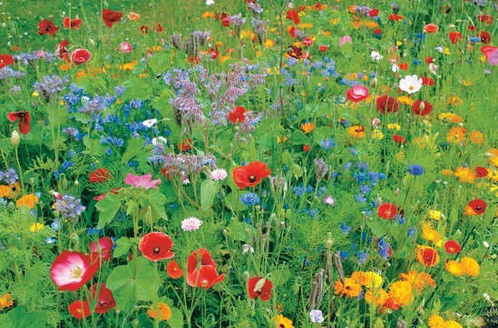 Colour Boost 1 wildflower mixture