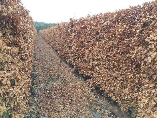 UK Grown Beech Instant Hedge 1.8m high autumn