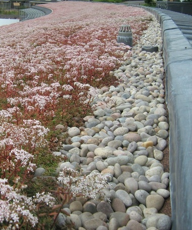 Sedum green roof with plenty of flowers for the bees