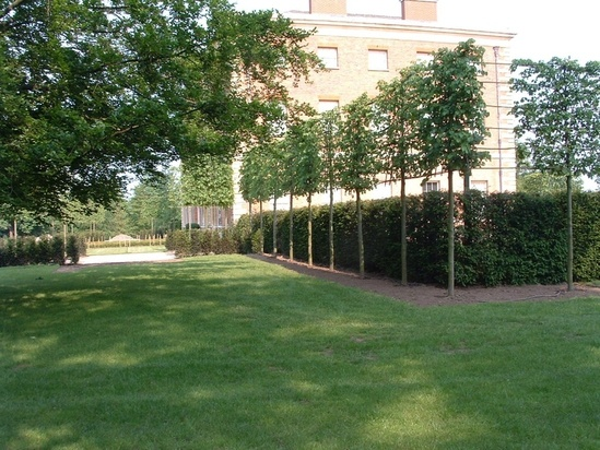 Bespoke screening trees - limes pre-pleached