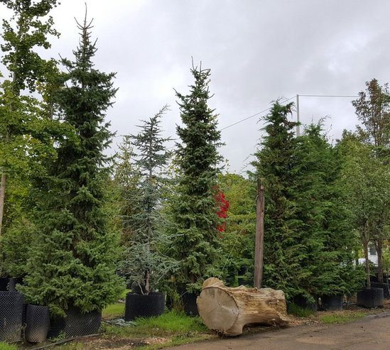 Tree supply and planting
