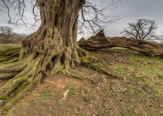 Ancient hornbeam tree at Hatfield forest