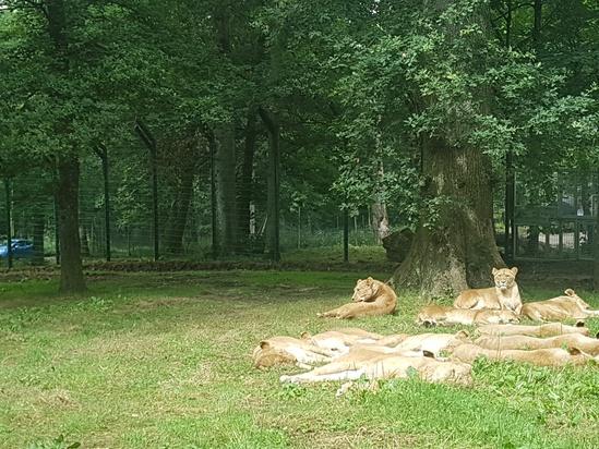 Longleat lion enclosure