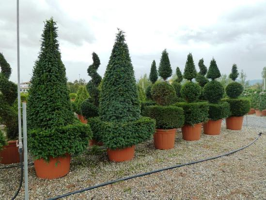 Container-grown topiary from Palmstead