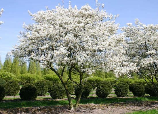 Amelanchier lamarckii multi-stem tree