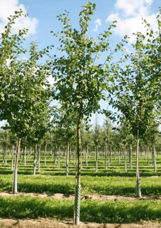 Prunus domestica 'Königin Viktoria'