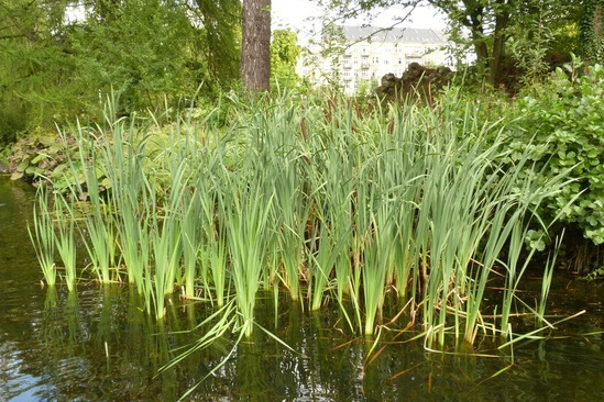 Aquatic and marginal plants britishflora esi external for Marginal pond plants