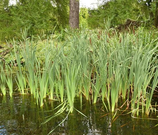 British Flora reeds for reedbeds