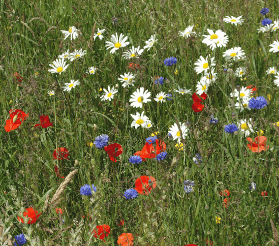Everyday Meadow wildflower seed mixture