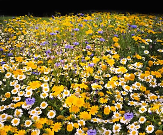 Pro Flora 10 wildflower mixture