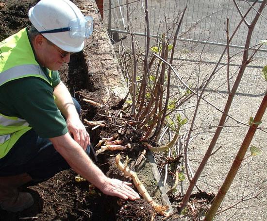Elcot environmental japanese knotweed control 1 jpg