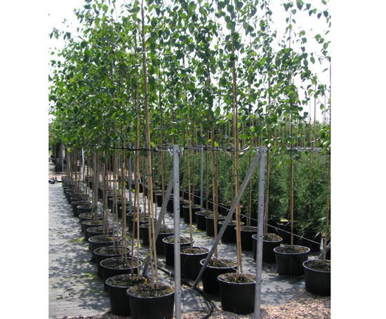 Container Grown Trees