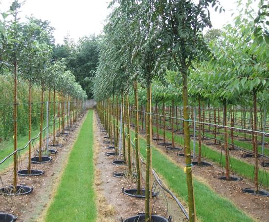 Containergrown trees James Coles Nurseries ESI External Works