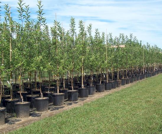 Container grown trees Craigmarloch Nurseries ESI External Works