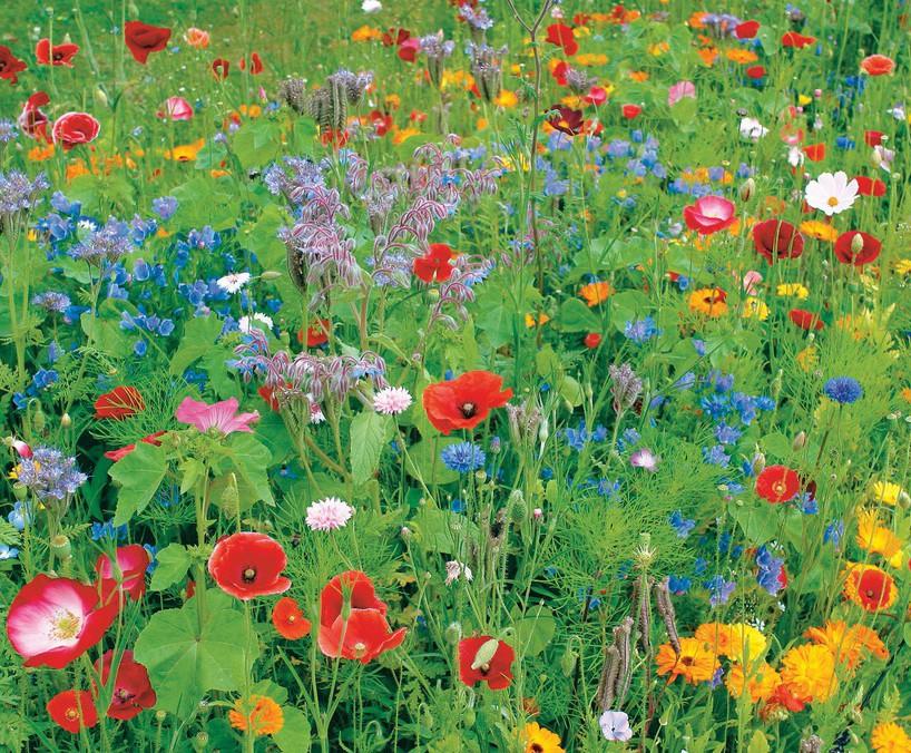 Colour Boost 1 - high-impact annuals wildflower mixture