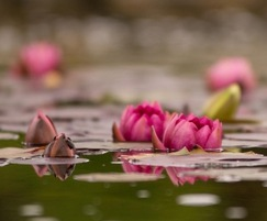 A large range of water lilies is available