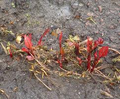 Japanese knotweed emerging in Spring