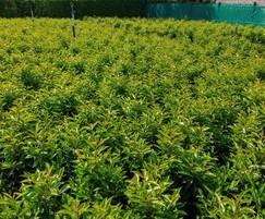 Prunus lusitanica 10L 80-100cm