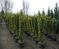 Container grown conifers