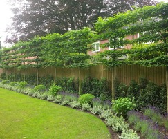Pleached trees provide screening and privacy