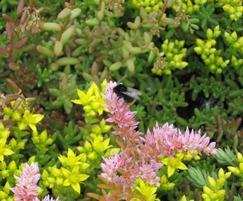 Bumblebee on Lindum Sedum Mat