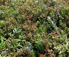 Sedum Mat in April