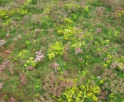 Sedum Mat in June