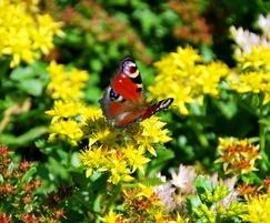 Lindum Sedum Mat attracts butterflies