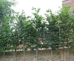 Pleached Trees at 8 metres