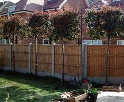 Photinia pleached screening trees