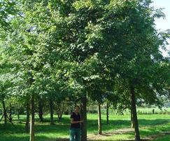 An English Oak at 50-60cm 8 metres tall