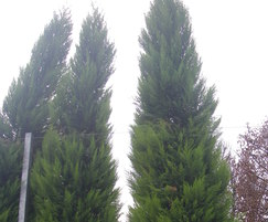 Tall evergreen trees for screening