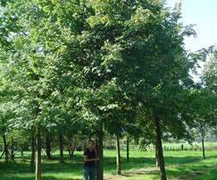 Quercus robur at 50-60cm girth