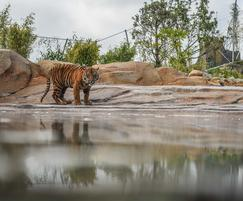 Sumatran tigers explore new Chester Zoo enclosure