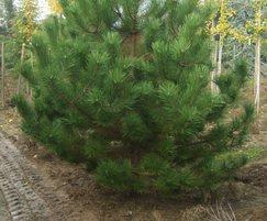 Pinus nigra field grown