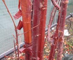 Prunus serrula multi-stem tree