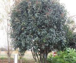 Photinia Red Robin  multi-stem tree