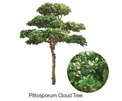 Pittosporum Cloud Tree