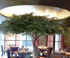Dome in restaurant ceiling with spreading tree canopy