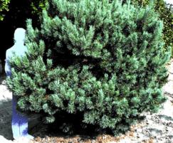 Pinus sylvestris Glauca