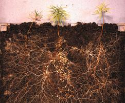 Increased establishment of root growth with RootStart®