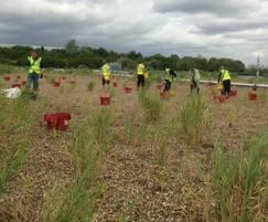 ARM Ltd: Weeding and planting at Heathrow Airport's reedbeds
