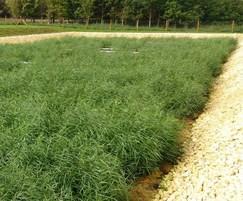 Lower Basildon municipal effluent treatment reedbed