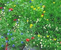 WF10 Cornfield Annuals wildflower seed mixture