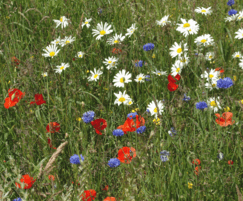 Germinal Amenity: New wildflower mix for quick, reliable meadow habitat