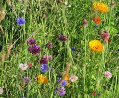 Germinal Amenity: Germinal enhances wildflower mixtures for pollinators